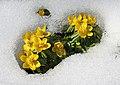 Eranthis hyemalis (Winter Aconite)..IMG 6973WI.jpg