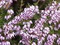 Erica herbaceae0.jpg