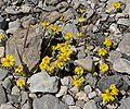 Eriophyllum wallacei 3.jpg