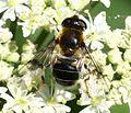 Eristalis rupium (female) - Flickr - S. Rae (11).jpg