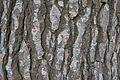 Escorça de pi de Calàbria (Pinus brutia), jardí botànic de València.JPG