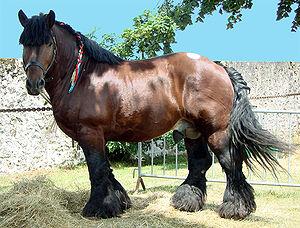 Ardennes horse - Ardennes stallion