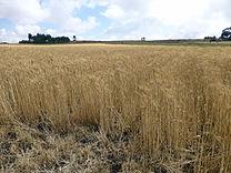Ethiopie-Récolte du blé (3).jpg