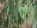 Eucaliptus Eritrocoris.Serres d'Auteuil 001.jpg