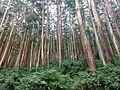 Eucalyptus plantation Nilgiris.jpg