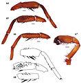 Eucteniza hidalgo male holotype.jpg
