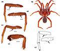 Eucteniza ronnewtoni male holotype anatomy.jpg