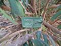 Euphorbia characias subsp. wulfenii in Jardin des Plantes 09.JPG