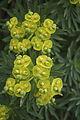 Euphorbia dendroides Zingaro 0052.JPG