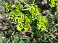 Euphorbia helioscopia sl4.jpg