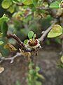 Euphorbia misera.jpg