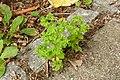 Euphorbia peplus (7914485540).jpg