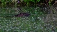 File:Eurasian beaver (Castor fiber) in the wild.webm