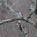 Eurasian jay and woodpecker (cropped).jpg