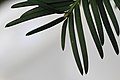 Europäische Eibe Taxus baccata top 3839.jpg