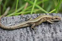 European Common Lizard (Zootoca vivipara) (8619734512).jpg