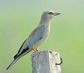 μεγάλο βυζί πουλί