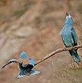 European Rollers (Coracias garrulus) couple duetting ... (35445578950).jpg
