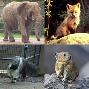 Vier Höhere Säugetiere aus allen vier Überordnungen, Afrikanischer Elefant, Rotfuchs, Großer Ameisenbär und Pika.