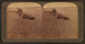 Evolution of the sickle and flail, 33 horse team combined harvester, Walla Walla, Washington, from Robert N. Dennis collection of stereoscopic views 3.png