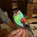 Extinct Paradise Parrot (male).jpg