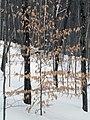 Fagus grandifolia CT3.jpg
