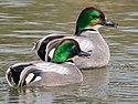Falcated Duck (19303550876).jpg