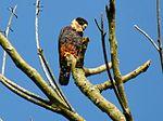 Falco rufigularis -Manizales, Caldas, Colombia-8.jpg
