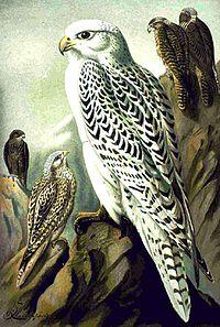Falco rusticolus NAUMANN