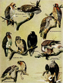 Falconry sport of kings (1920) Tame hawks.png