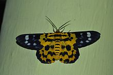 False Tiger Moth Dysphania militaris WLB DSC 0059.jpg