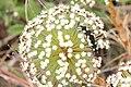 Fauna em Actinocephalus polyanthus PNM Dunas da Lagoa da Conceição 4.jpg