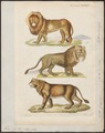 Felis leo - 1834 - Print - Iconographia Zoologica - Special Collections University of Amsterdam - UBA01 IZ22100001.tif