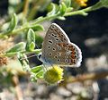 Female Common Blue - Flickr - gailhampshire.jpg