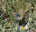 Female mission blue butterfly lands on a patch of grass.jpg