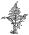Fern2 (PSF).png