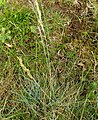 Festuca pallens plant (01).jpg
