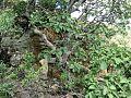 Ficus abutilifolia03.jpg