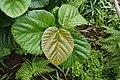 Ficus auriculata 0225.jpg