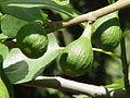 Ficus carica7.jpg