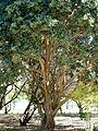 Ficus rubiginosa, stam en lower, Pretoria.jpg