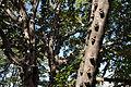 Ficus sansibarica, c, Olifants.jpg