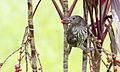 Fig bird female 1 (23385309639).jpg