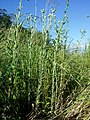 Filago vulgaris sl276.jpg