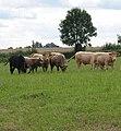 Fine looking herd near Sellack - geograph.org.uk - 520646.jpg