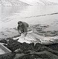 Fisherman who has caught a Basking shark.jpg