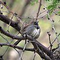 Five-stripped Sparrow (17944565153).jpg