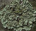 Flavoparmelia caperata - Flickr - pellaea (4).jpg