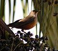Flickr - Dario Sanches - SABIÁ-LARANJEIRA (Turdus rufiventris) (15).jpg