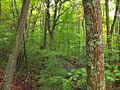 Flickr - Nicholas T - Ravine Forest.jpg